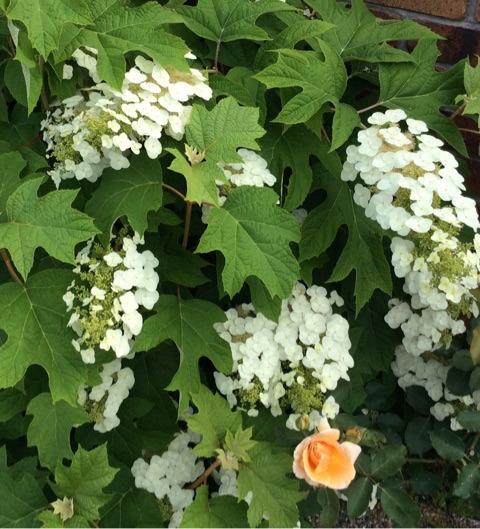 オレンジのバラ「ジャスト・ジョイ」と。