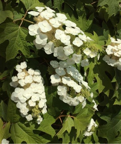 カシワバアジサイの装飾花