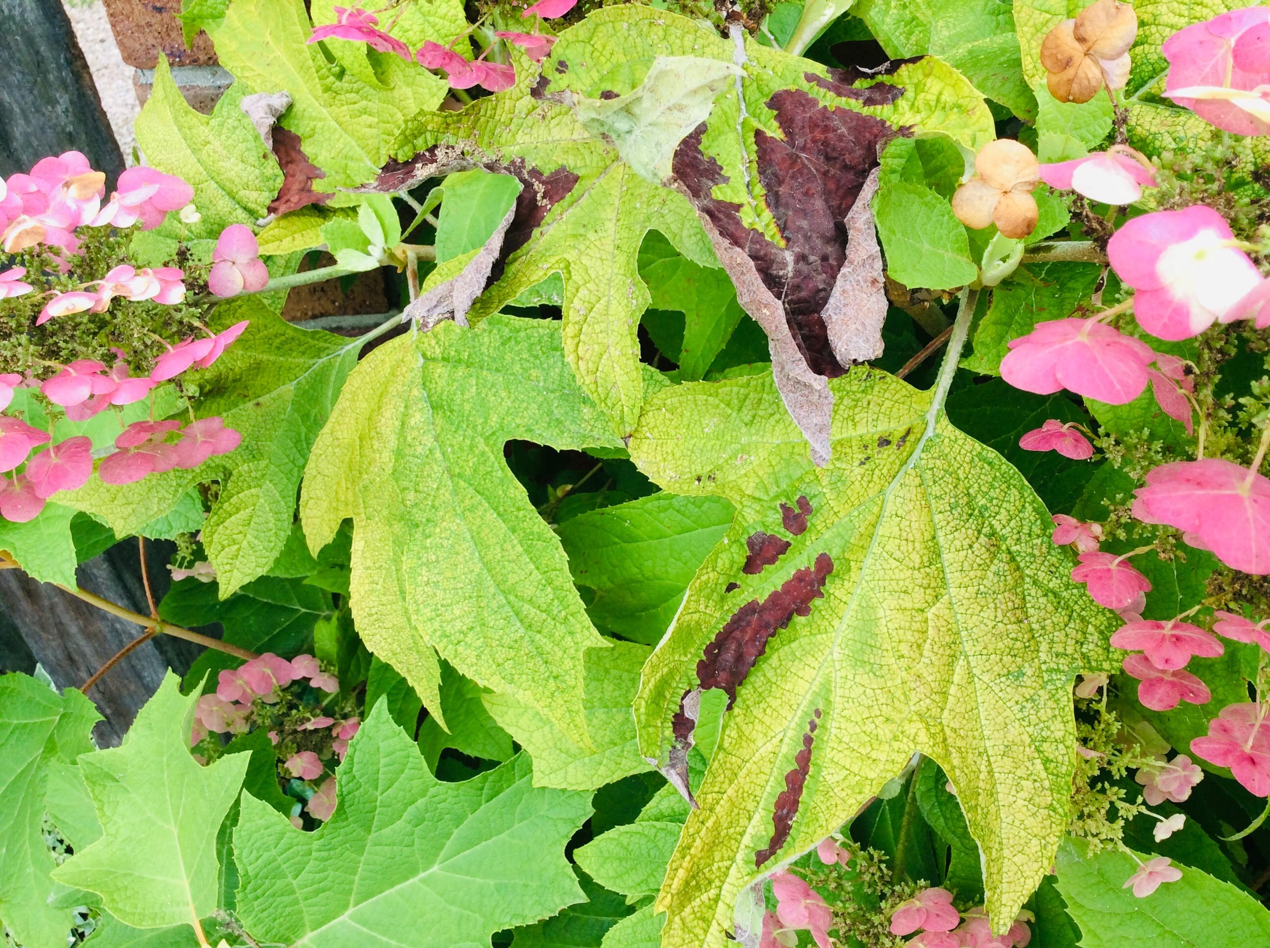 葉焼けを起こしたカシワバアジサイの葉