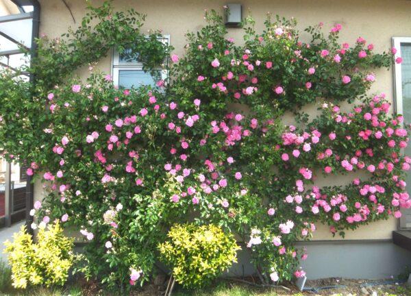 つるバラ ピンクサマースノー
