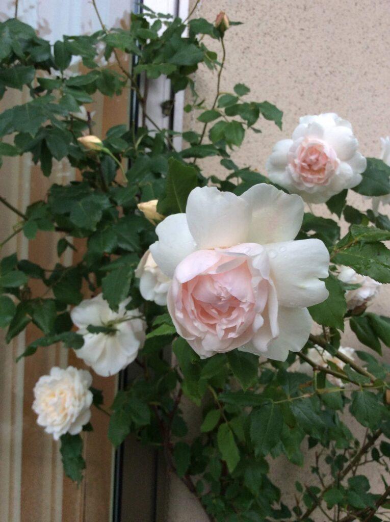マダム アルフレッド キャリエール つるバラ